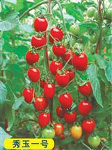 秀玉一号――番茄种苗