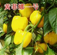 黄菲娜一号――甜椒种苗