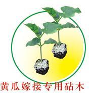 黄瓜嫁接专用砧木――砧木种苗